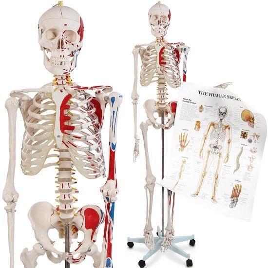 Сколько костей у человека в теле?